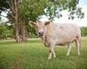 gallery_cow