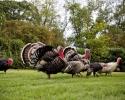 gallery_turkeys