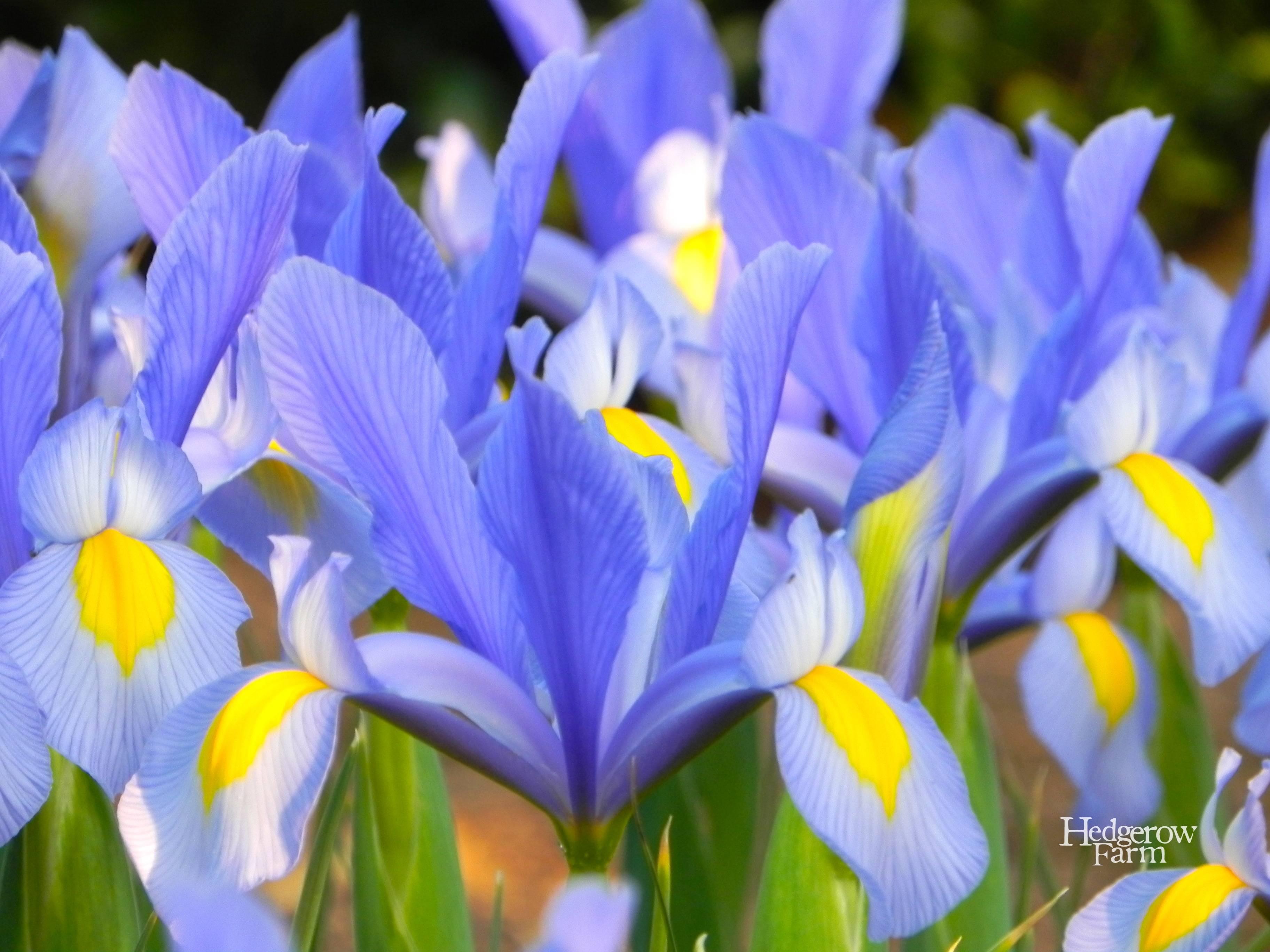 Dutch Iris Hedgerow Farm