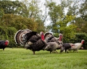 gallery_turkeys