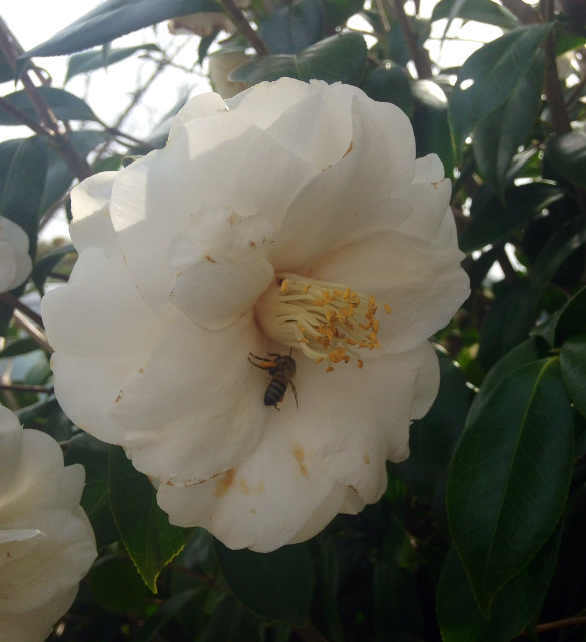 honeybee on Camellia bloom